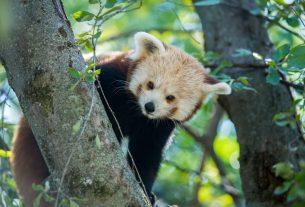 Vörös panda, Pécs